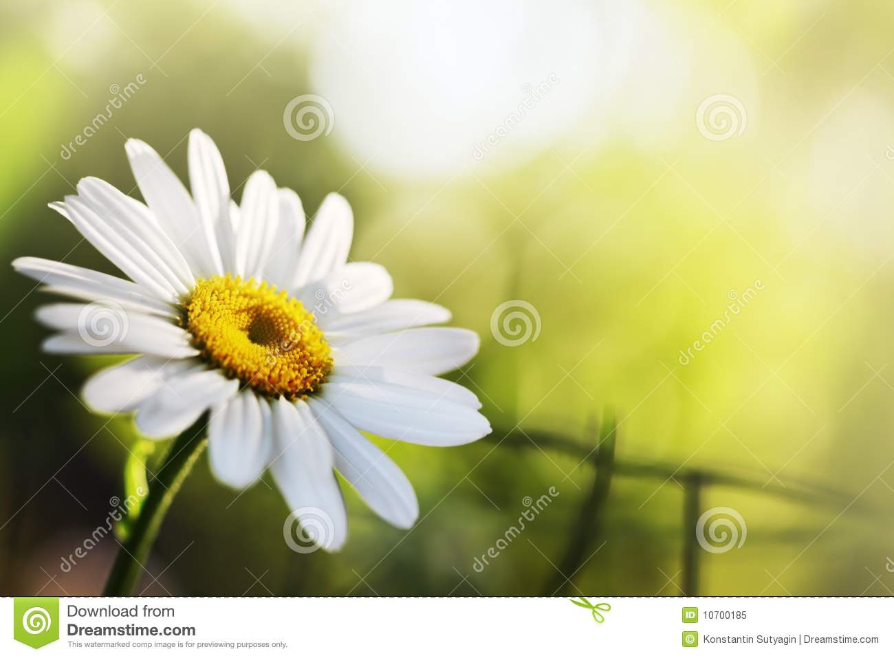 Beautiful Daisy Flower Stock Image Image Of Background 10700185