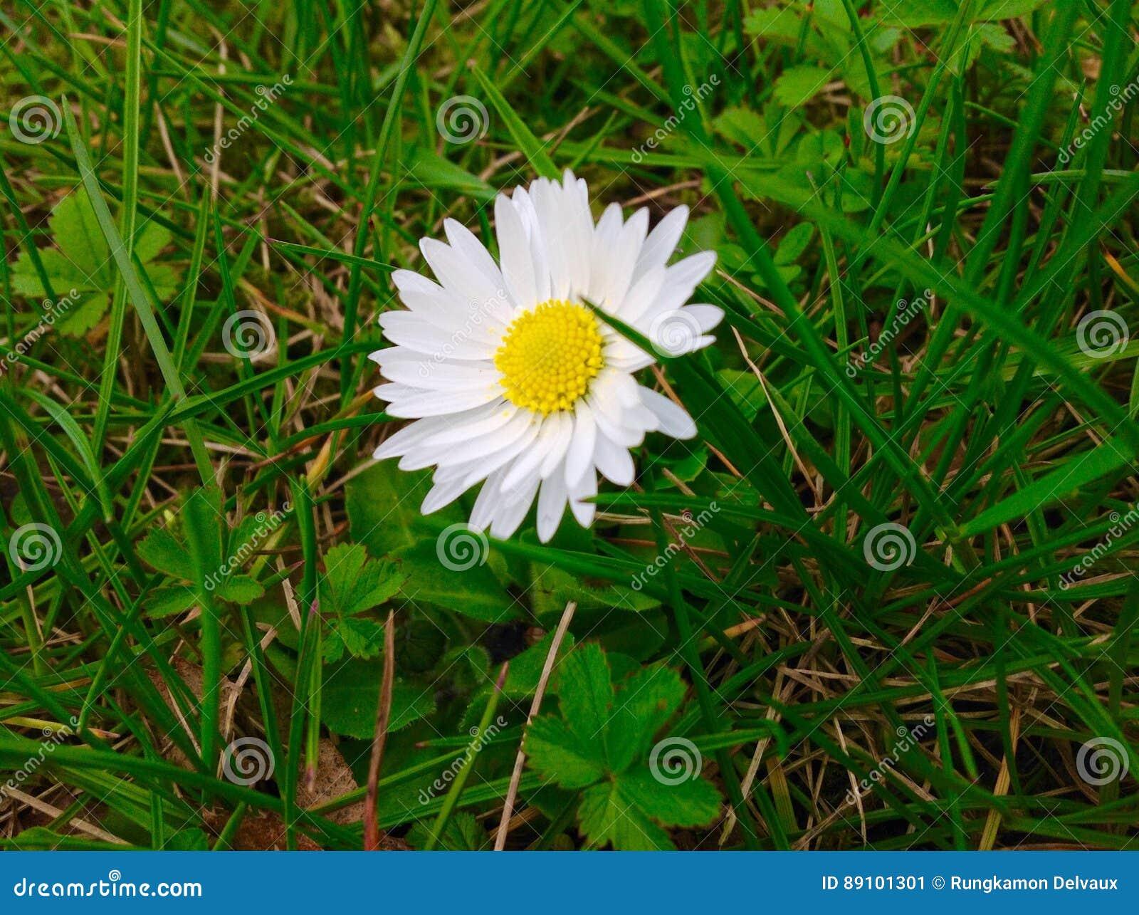 Beautiful daisy flower and green grass background stock image beautiful daisy flower and green grass background izmirmasajfo Choice Image