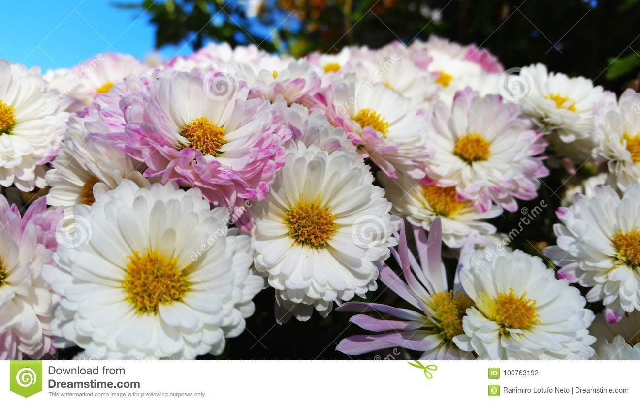 Beautiful daisy flowers in group stock photo image of daisy beautiful daisy flowers in group izmirmasajfo Choice Image