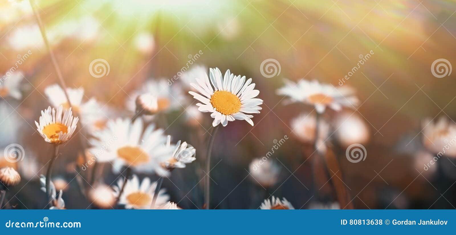 Beautiful daisy flowers lit by sun rays stock photo image of fresh beautiful daisy flowers lit by sun rays izmirmasajfo