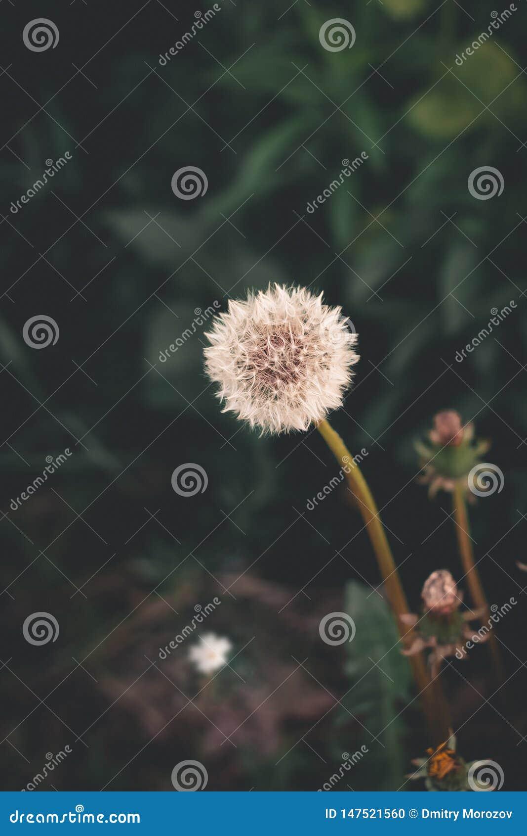 Beautiful dandelion, green, ukraine
