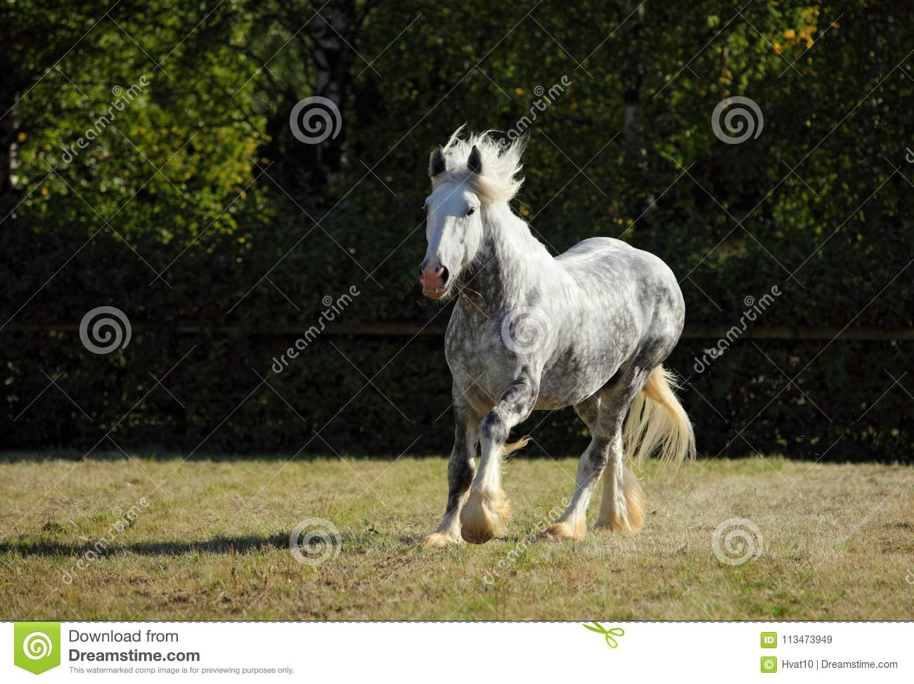 Beautiful Dapple Grey Horse Running On The Field Stock Image Image Of Gypsy Farmland 113473949