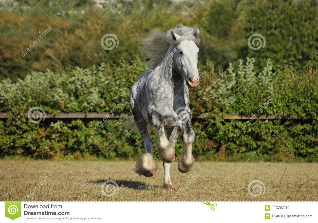 Beautiful Dapple Grey Horse Running On The Field Stock Photo Image Of Country Freedom 113757284