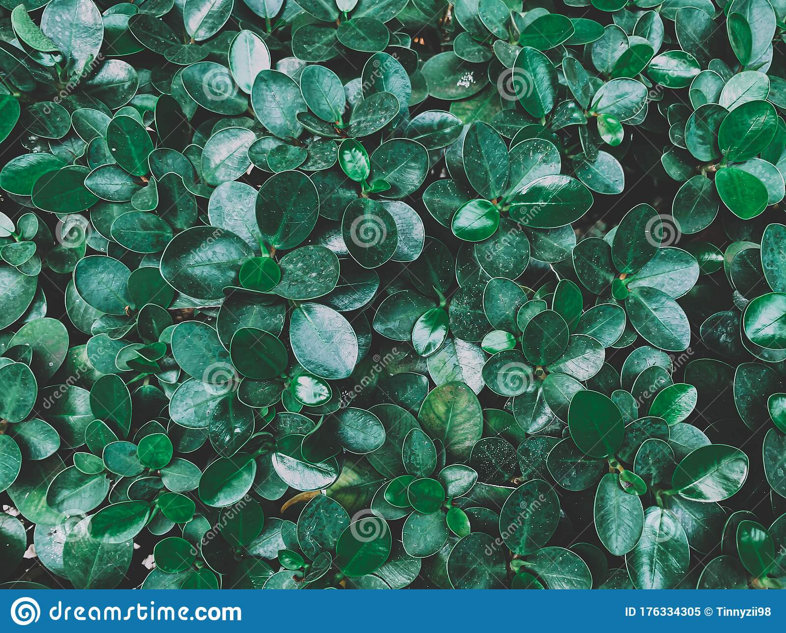 Beautiful Of Dark Green Leaves Background Or Wallpaper Stock Image