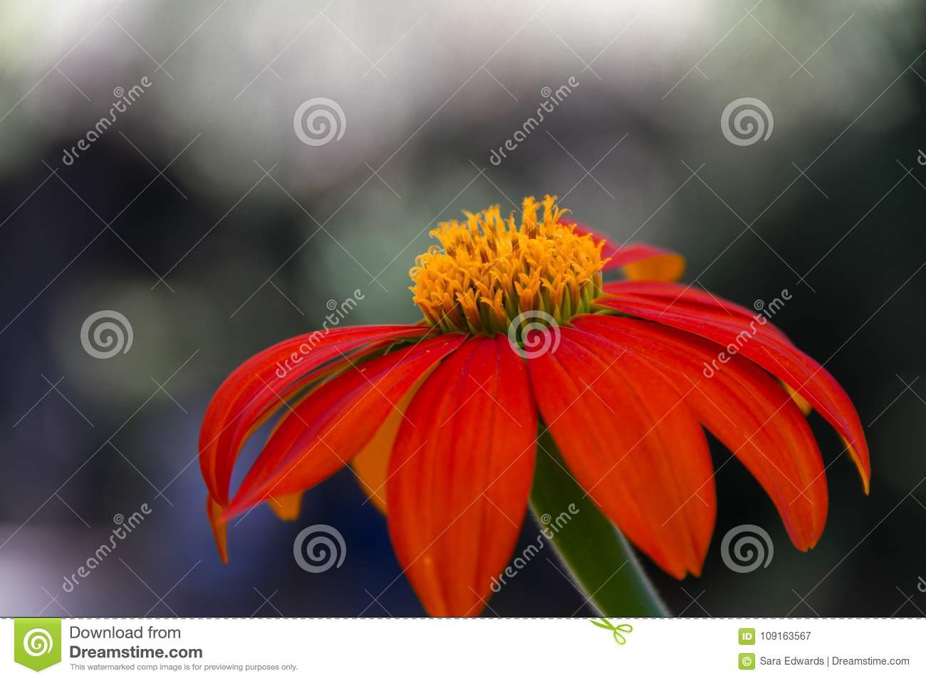 A Beautiful Dark Orange Flower With Yellow Center In Front Of A