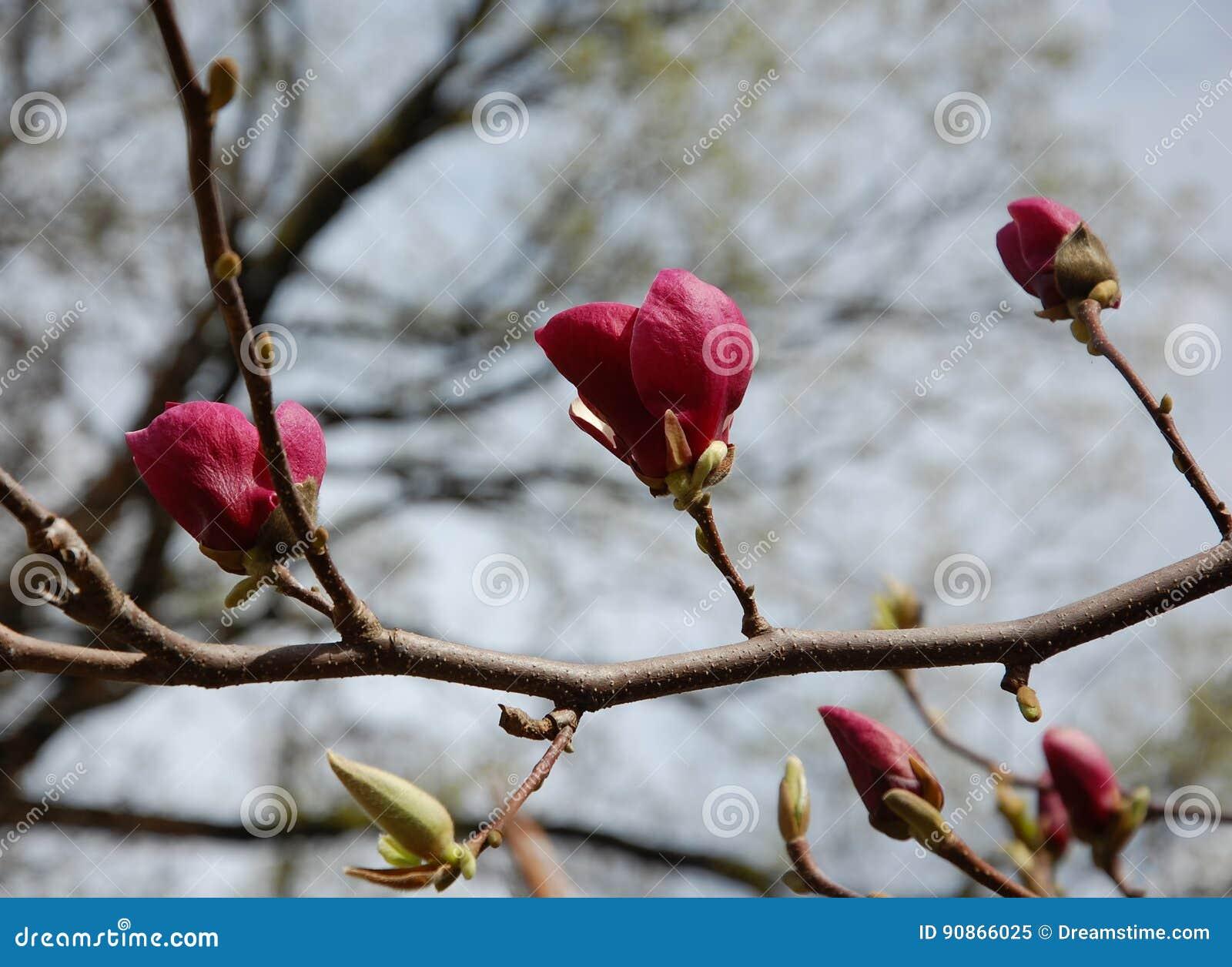 Beautiful dark pink magnolia flowers on a branch of a blossoming download beautiful dark pink magnolia flowers on a branch of a blossoming tree stock image mightylinksfo