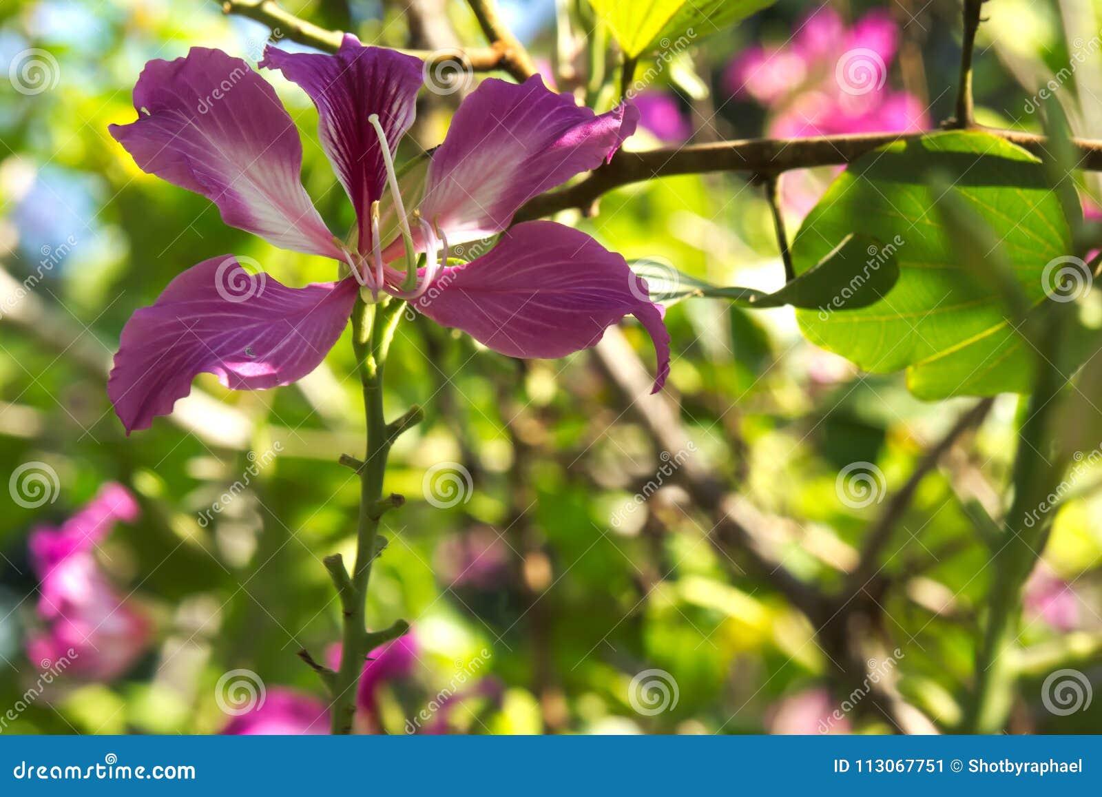 Beautiful Dark Pink Tree Flowers Blooming Under The Blue Sky In A