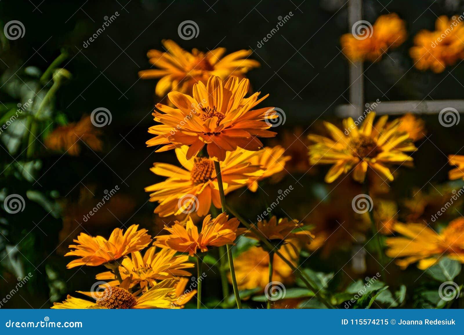 Dark yellow flowers growing in the garden in the warm summer af download dark yellow flowers growing in the garden in the warm summer af stock image mightylinksfo
