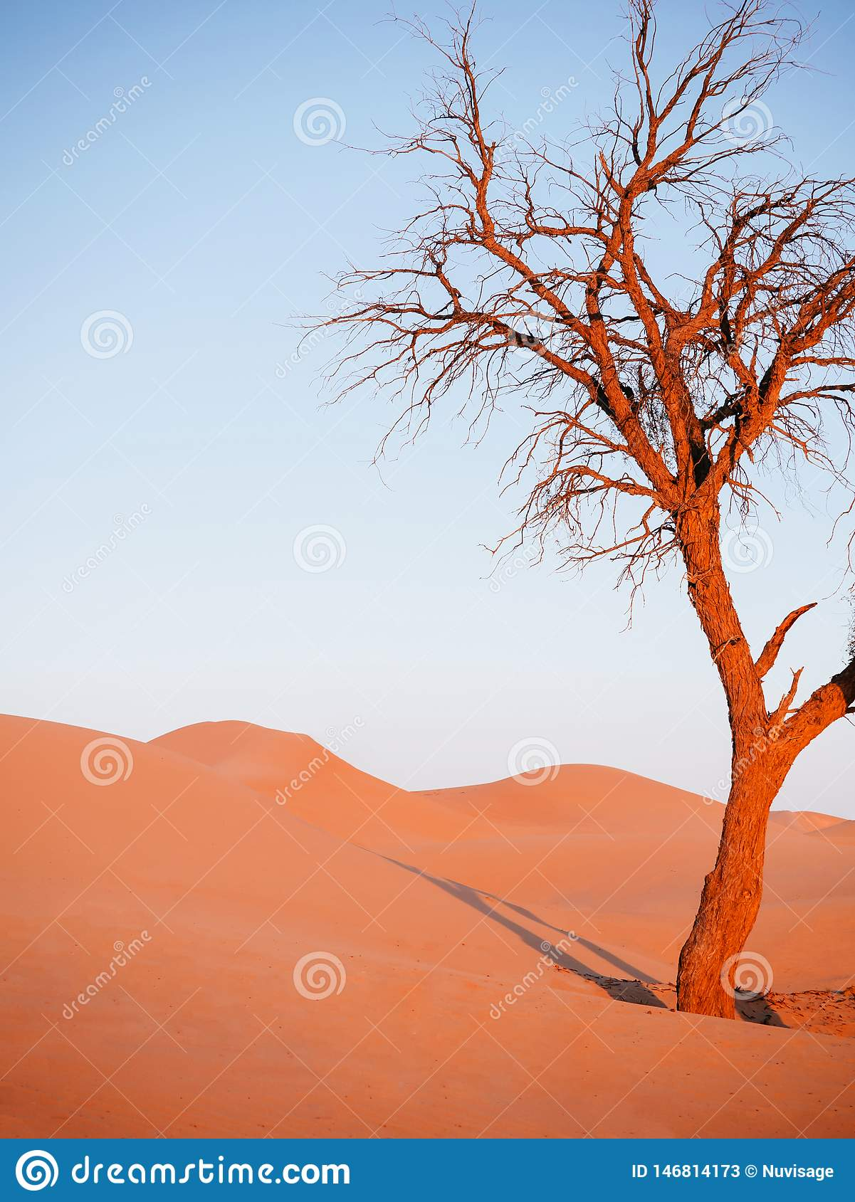 Beautiful Dead Tree In Desert With Sunset Light And Clear Sky  Dubai