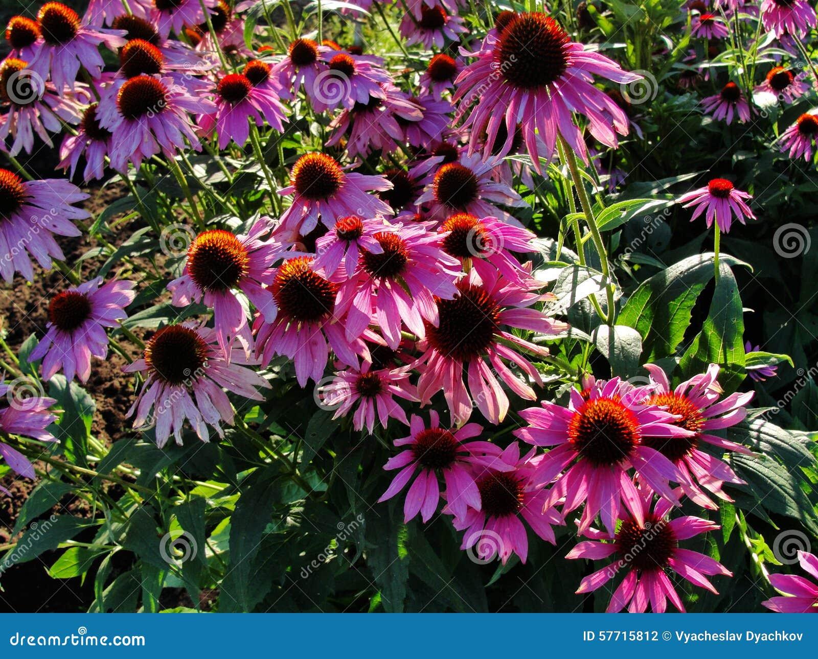 beautiful decorative flowers in the summer garden. large bush