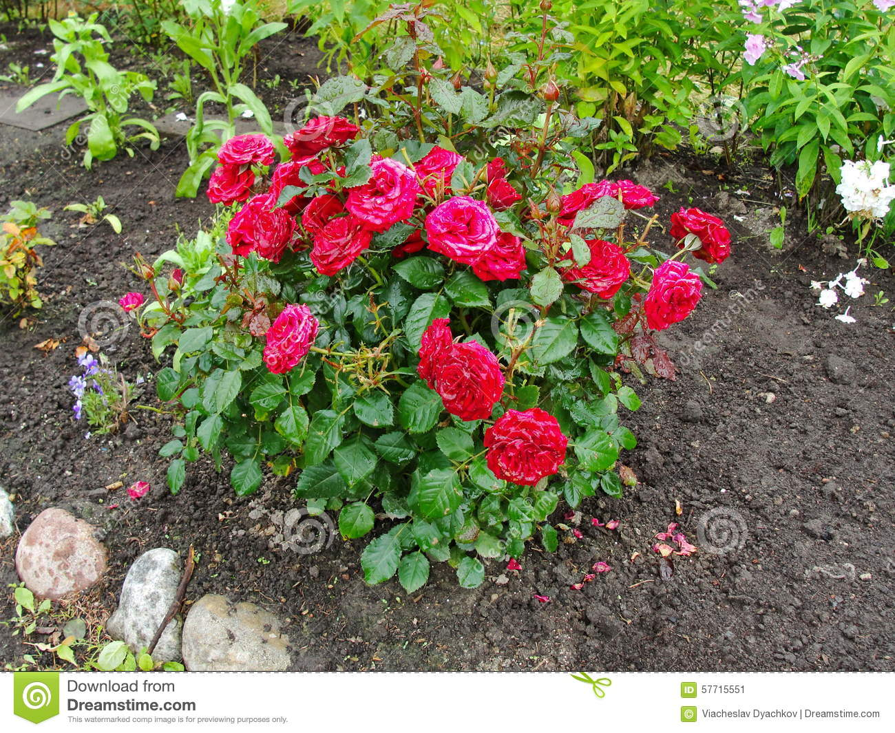 Awesome Royalty Free Stock Photo. Download Beautiful Decorative Flowers In The Summer  Garden.