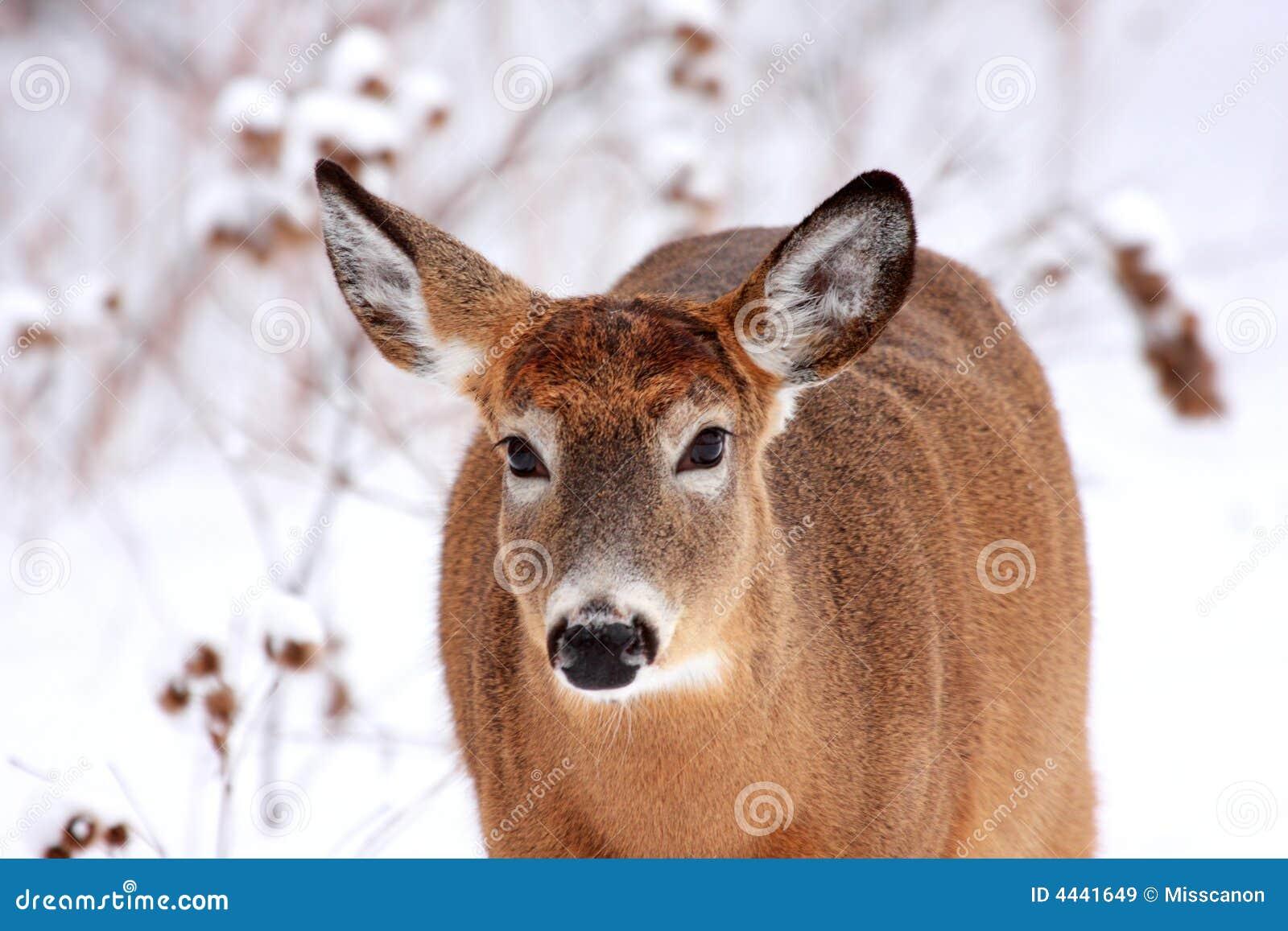 Beautiful deer in winter