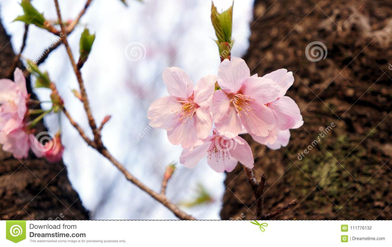 Delicate cherry blossom with leaves