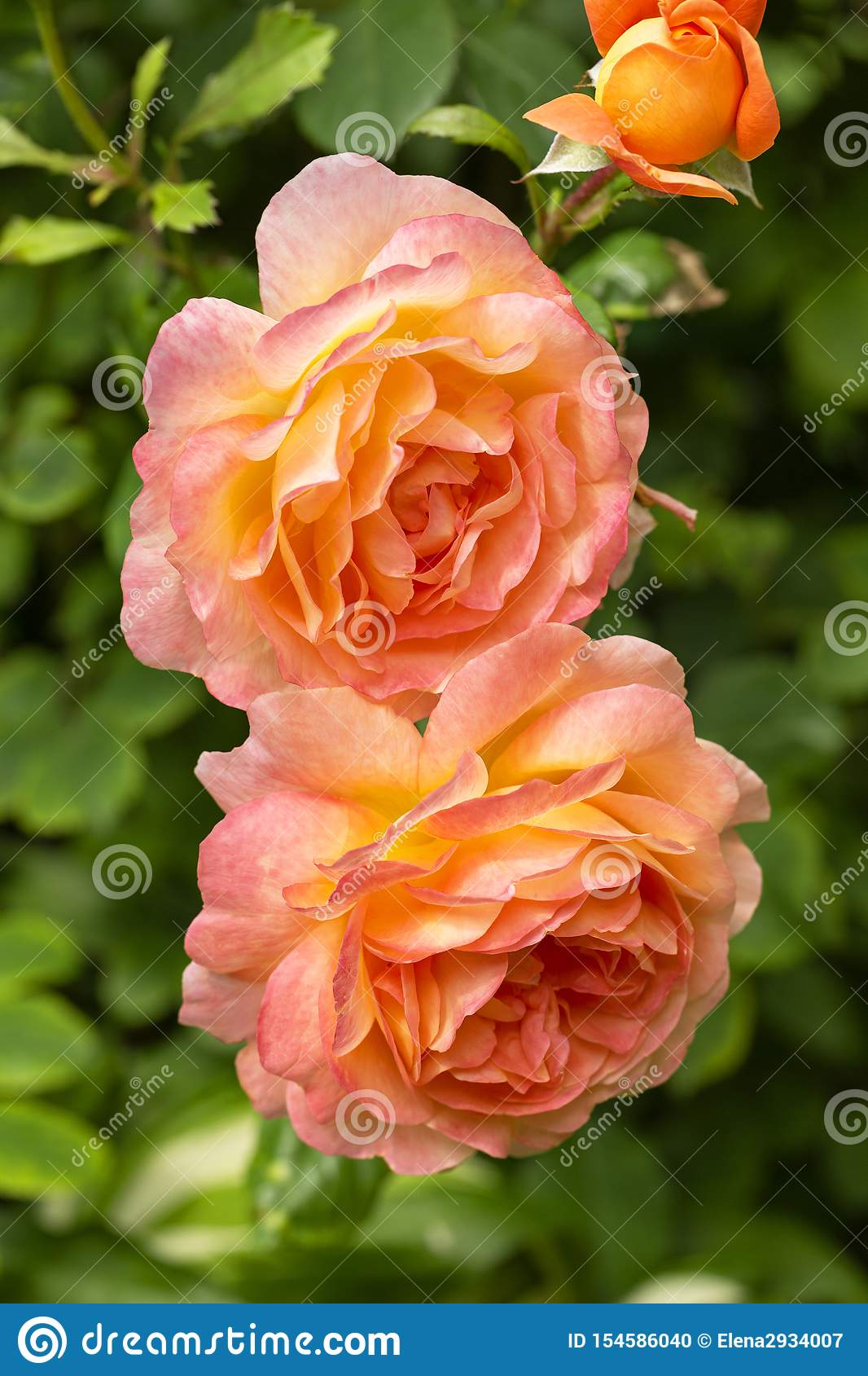 Beautiful, delicate colorful roses in the garden. Blooming orange English roses on a sunny day.