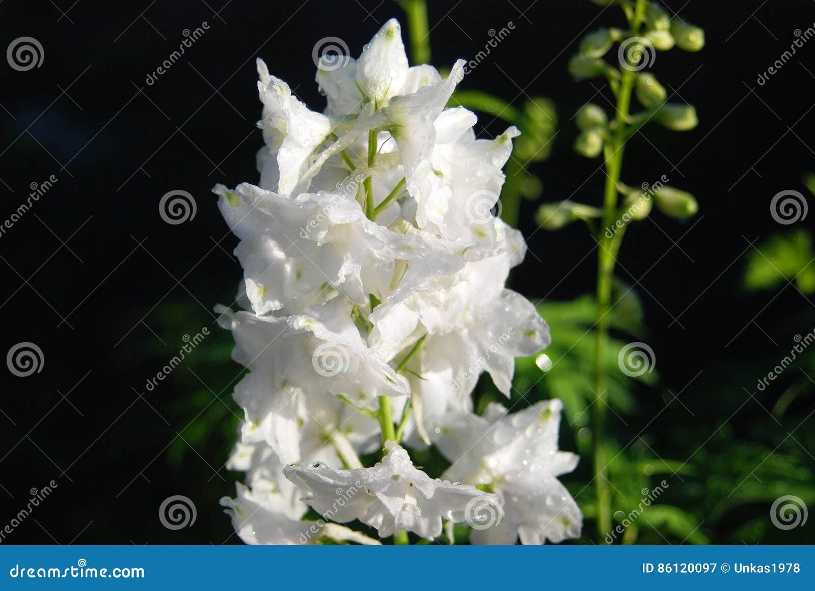 Beautiful Delphinium Flower Stock Image Image Of Flower