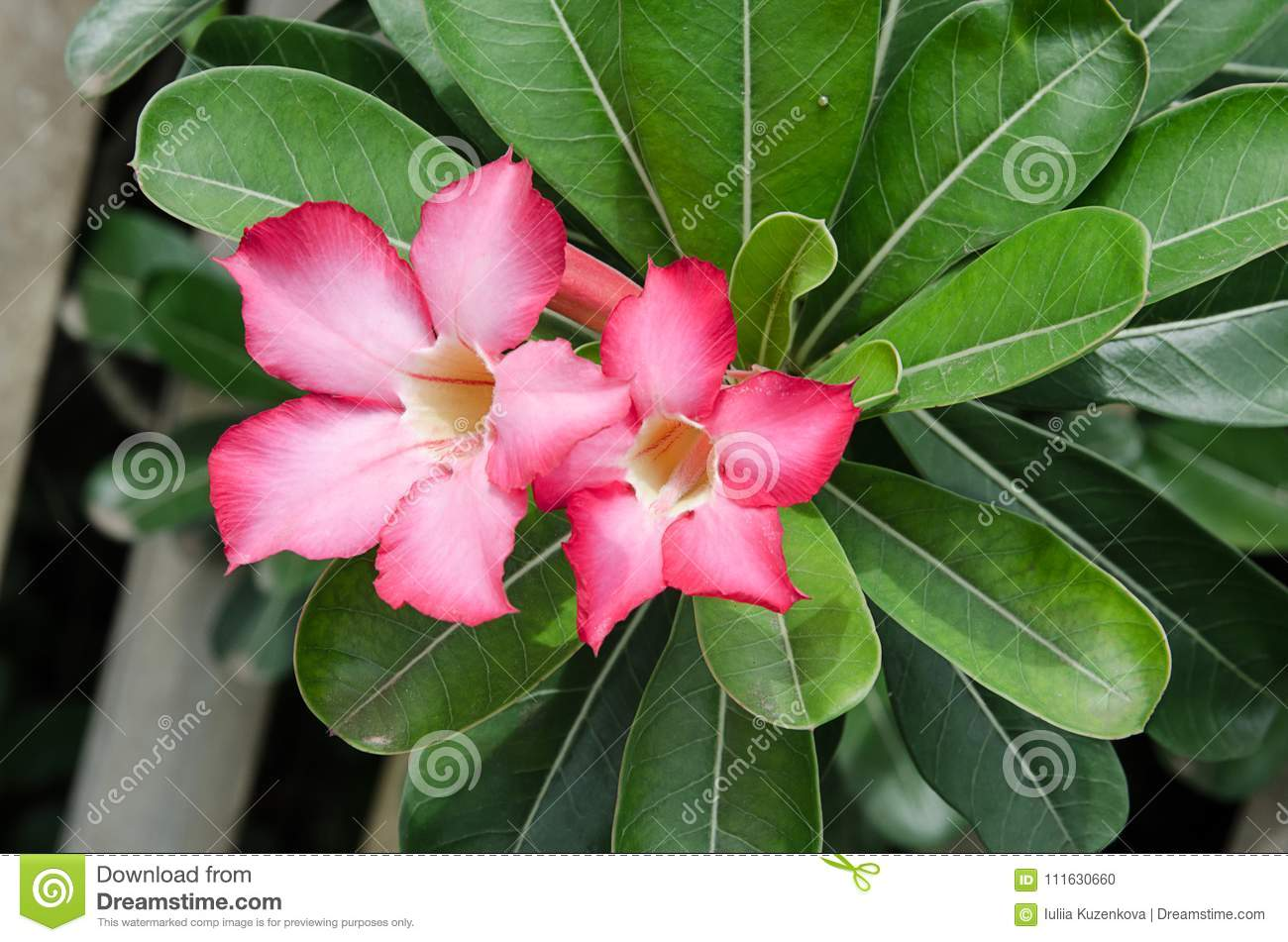 Beautiful Desert Rose Flower In The Garden With Blurry Green Leaf In