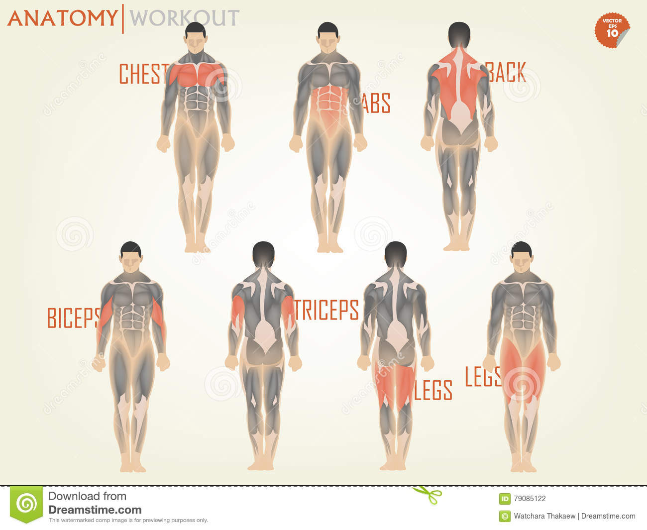 Beautiful Design Of Anatomy For Working Out At The Gym Consist Of ...