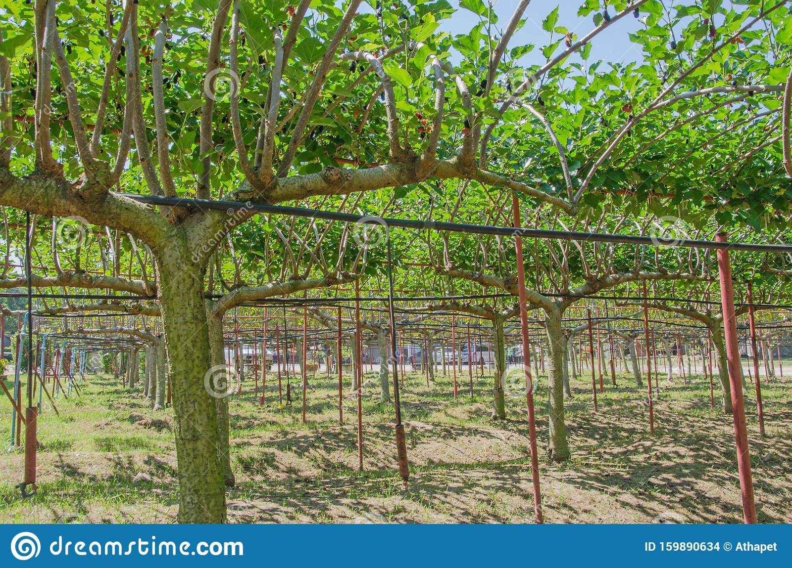 Beautiful Same Shapes Of Mulberry Trees Stock Photo Image Of
