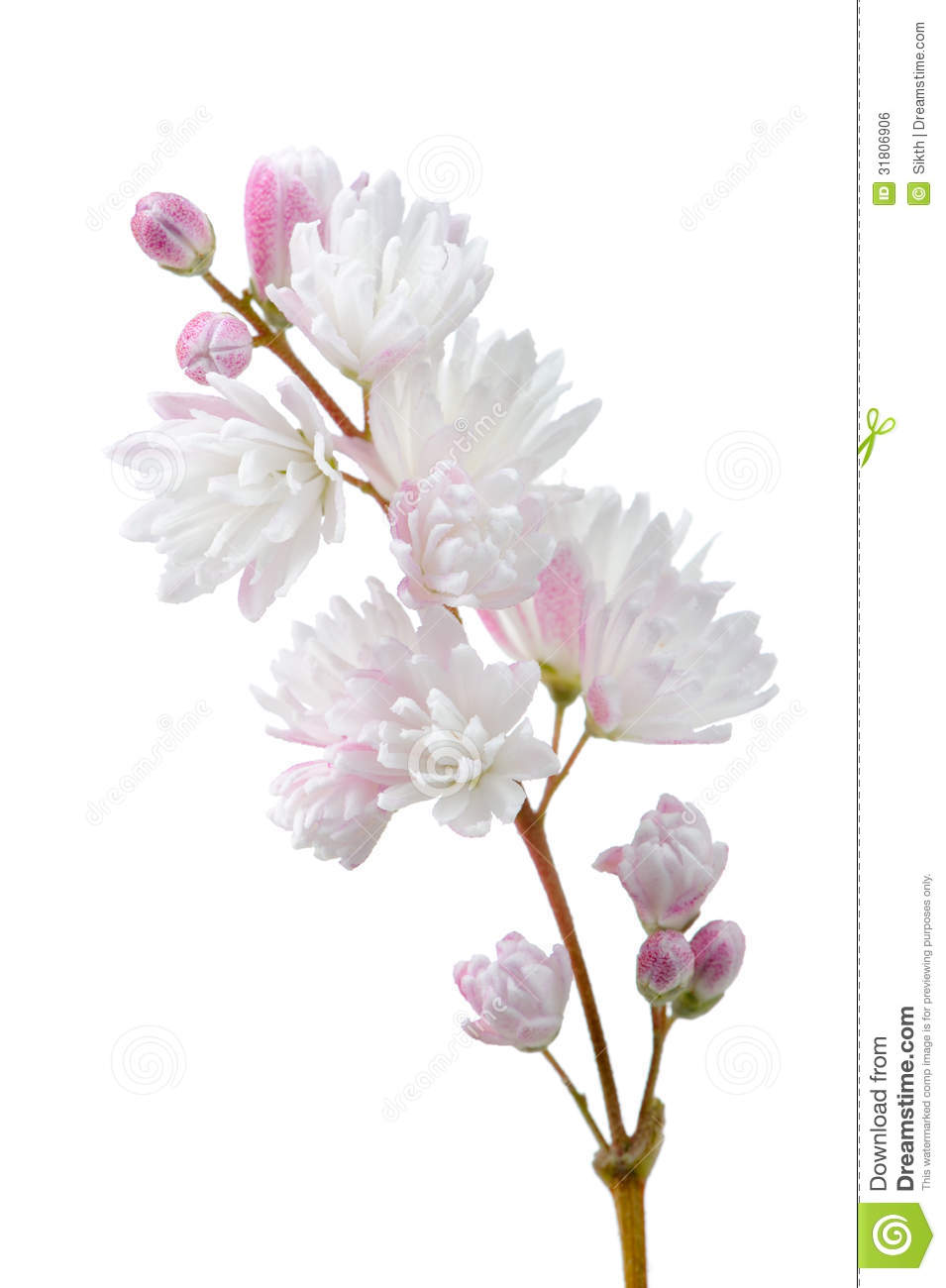 Beautiful deutzia scabra flowers on white background royalty free background beautiful branch deutzia flowers pinkish scabra white dhlflorist Image collections