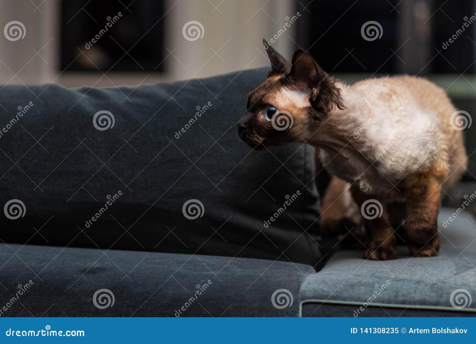 Beautiful Devon Rex cat Blu Point type In the home interior. Selective focus, bokeh