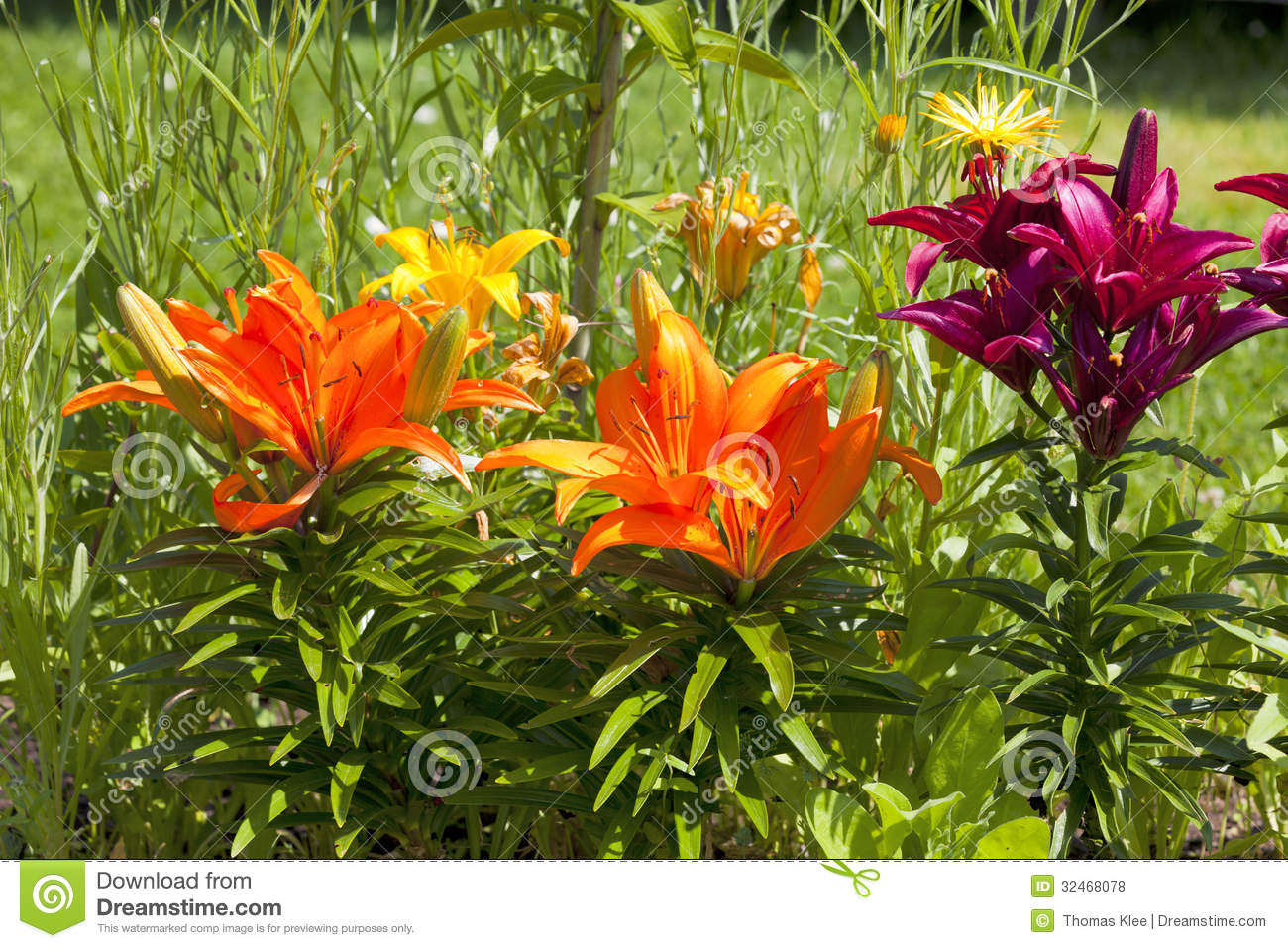 Beautiful Different Colored Lilies In The Garden Stock Photo