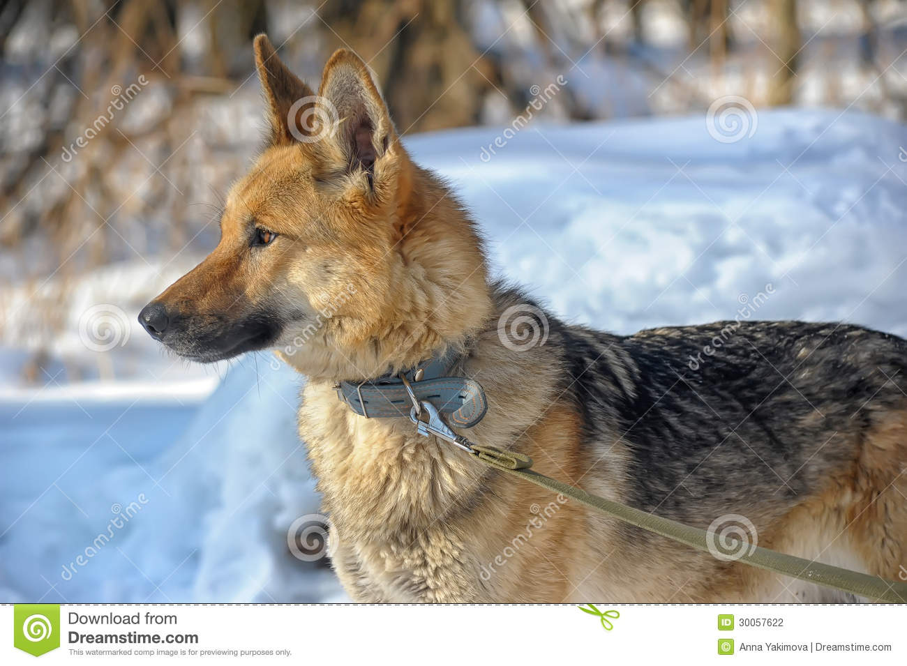 Half Breed Shepherd And The Wolf Stock Photo Image Of Canine