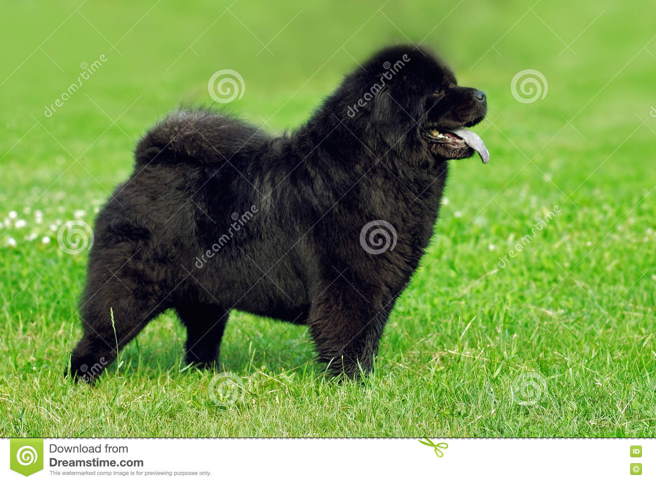 Beautiful Dog Breed Chow Chow Rare Black Color Is To Show The Po