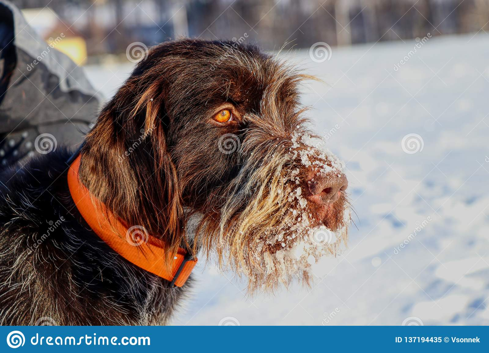 A beautiful dog face full of snow watching deers in nature. Brown female dog of Bohemian Wire-haired Pointing Griffon or korthals