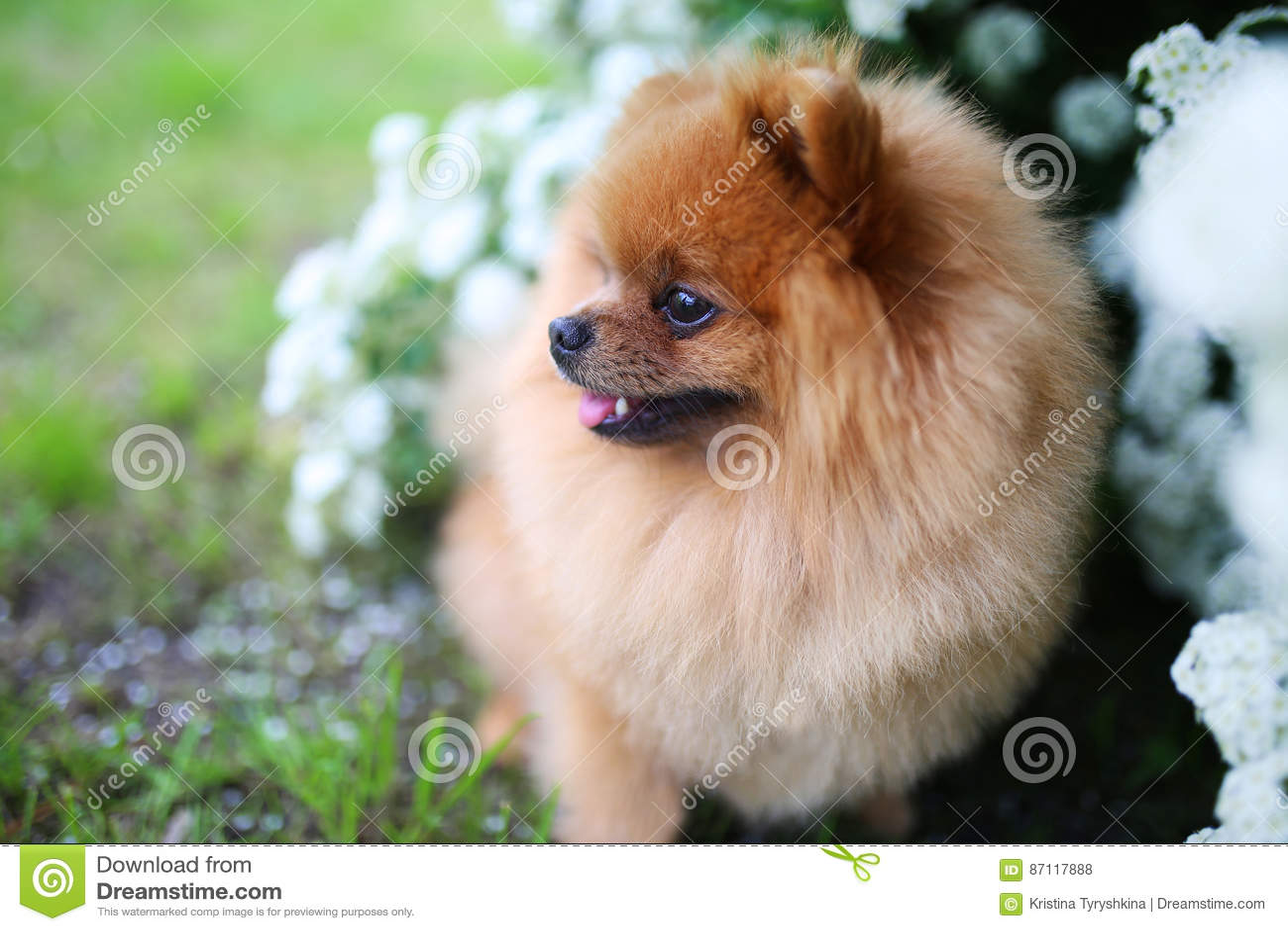 Beautiful Dog Pomeranian Dog Near Blossoming White Bush Pomeranian