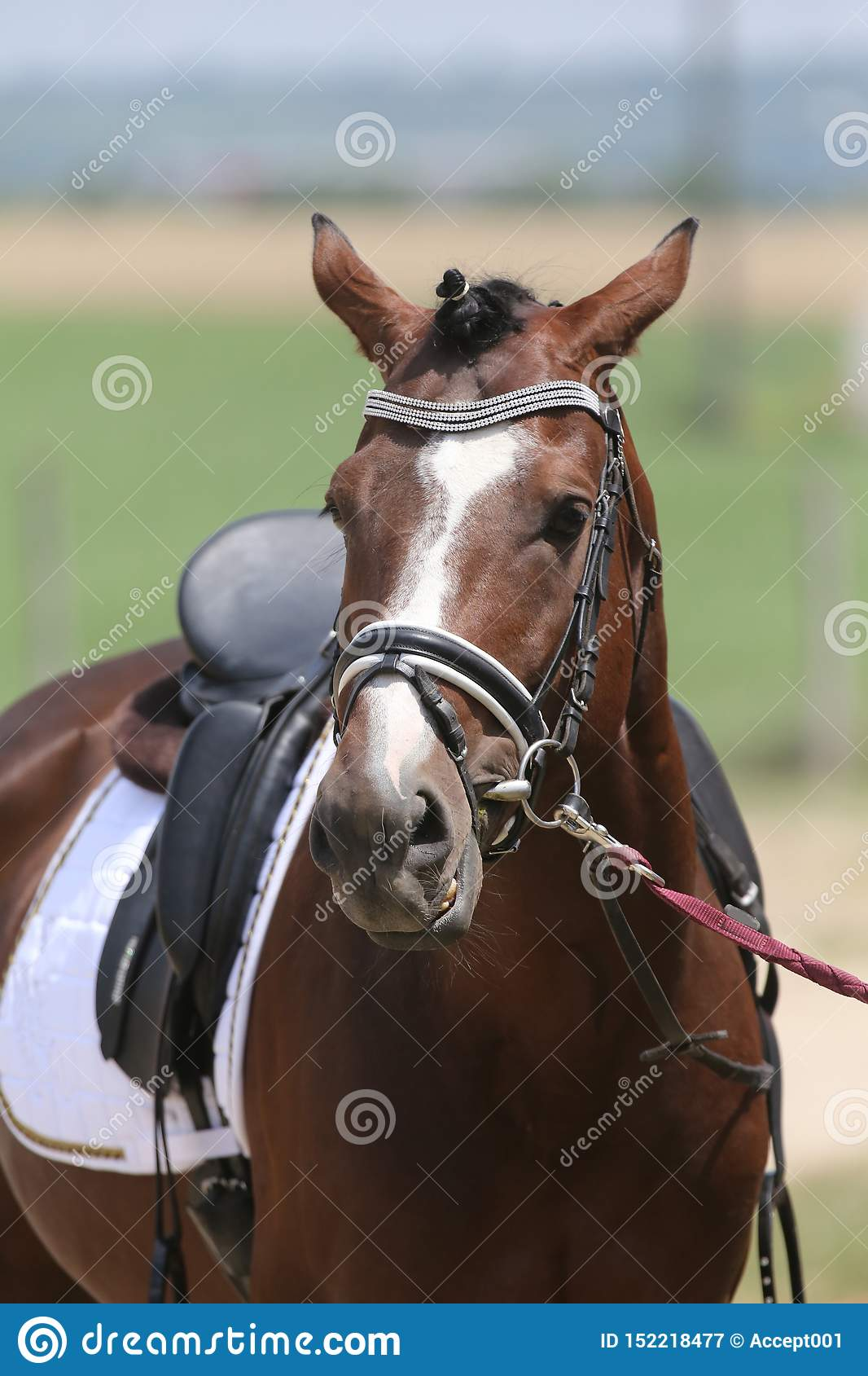 Beautiful Dressage Horse Portrait At A Rural Dressage Hall Open Air Stock Image Image Of Face Domestic 152218477