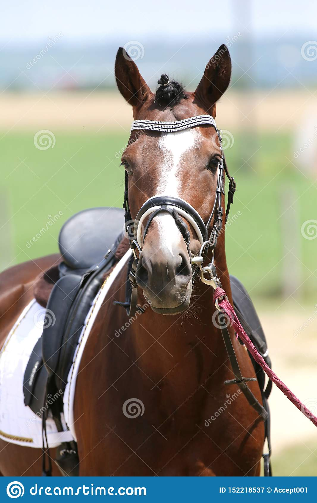 Beautiful Dressage Horse Portrait At A Rural Dressage Hall Open Air Stock Image Image Of Leather Farm 152218537