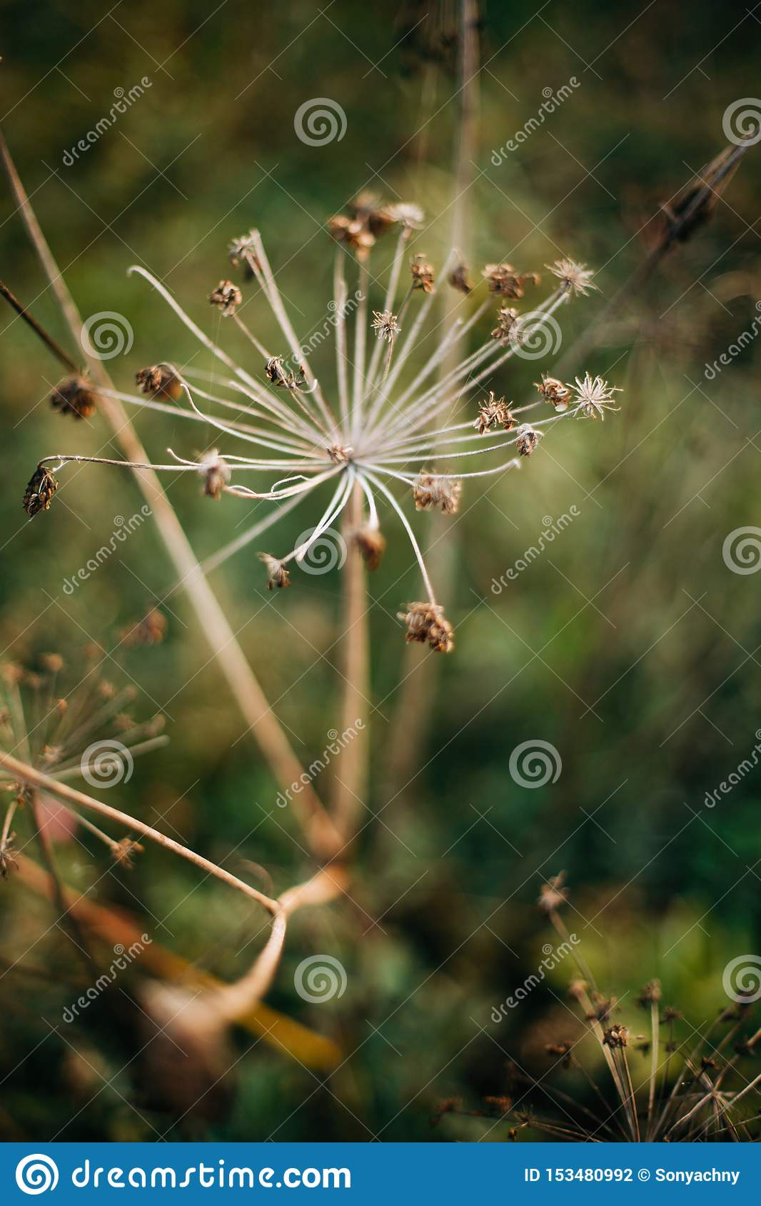 Beautiful dried herbs, aegopodium podagraria or angelica, in sunny meadow at sunset in mountains. Gathering dried wildflowers in