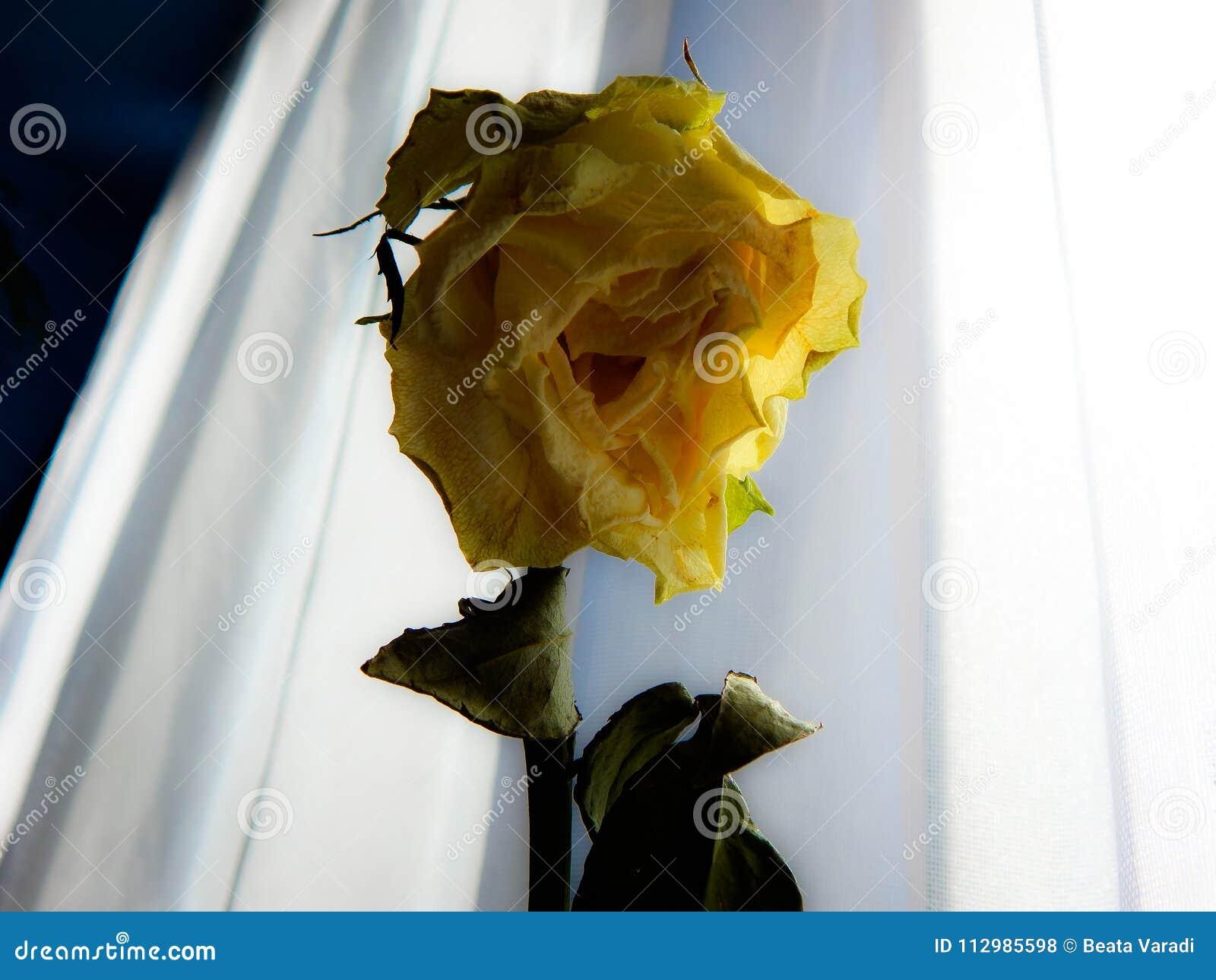 Beautiful dry yellow rose