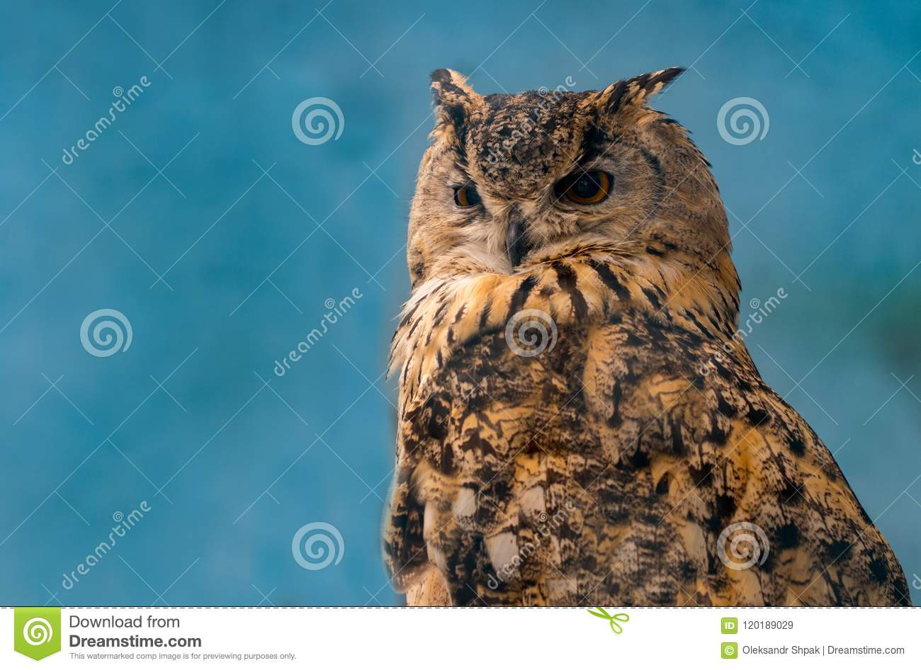 beautiful eagle owl on blue background with copy space