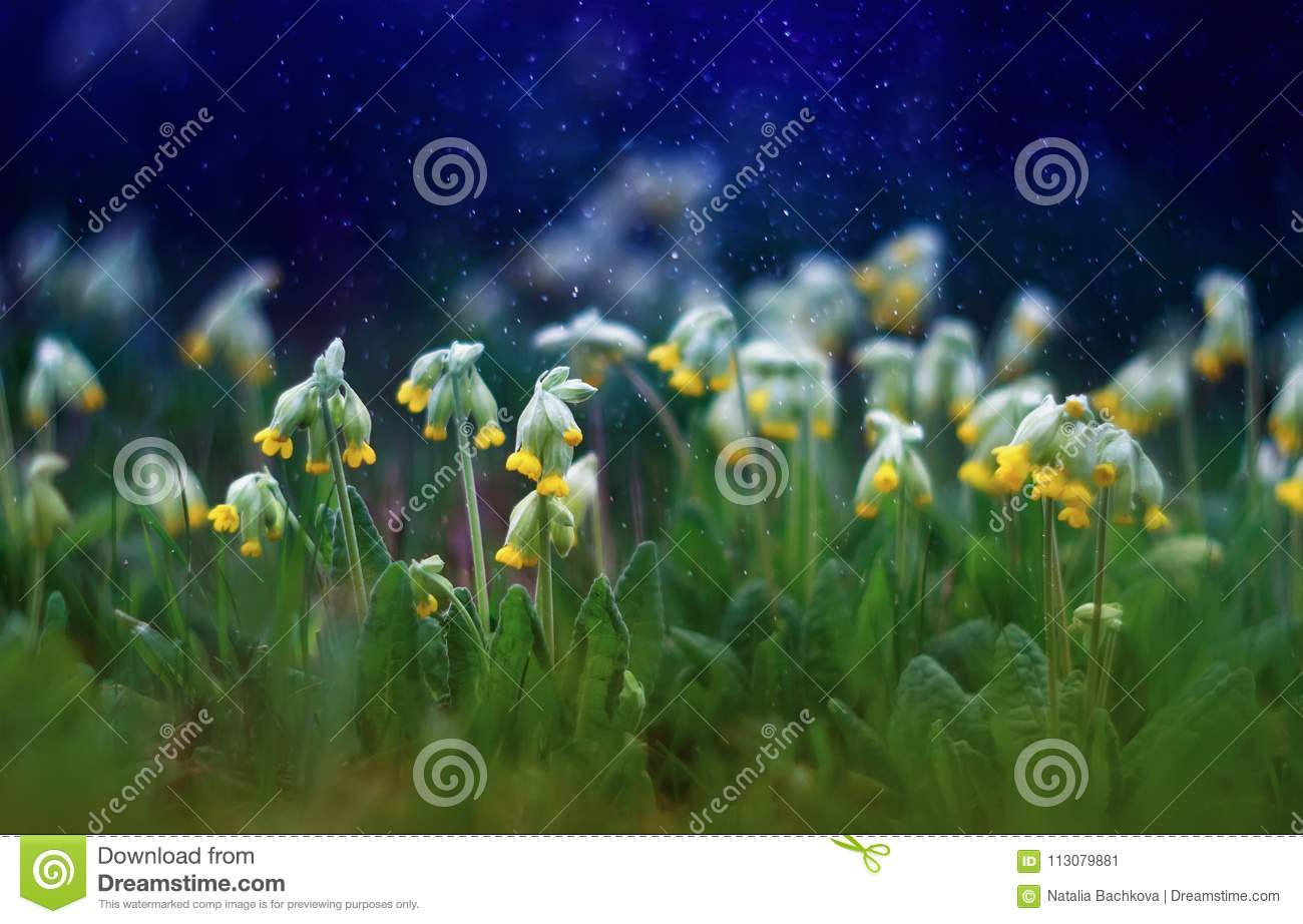 Beautiful early fresh yellow flowers primrose grow on spring gre beautiful early fresh yellow flowers primrose grow on spring gre mightylinksfo