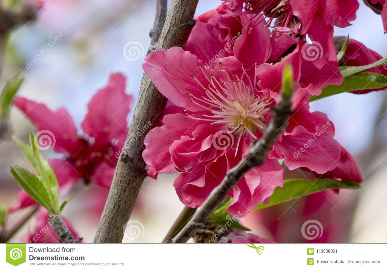 Pink Flowers Stock Image Image Of Trees Early Flowers 113608091