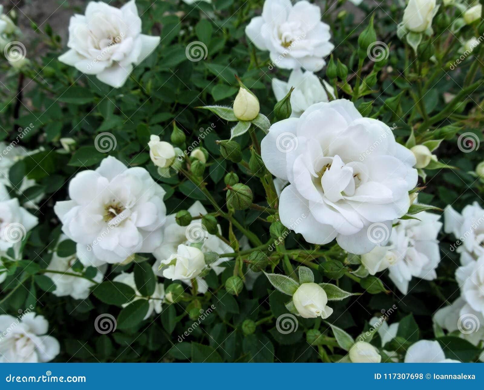 Beautiful elegant floral background with delicate white roses for beautiful elegant floral background with delicate white roses for wedding design mightylinksfo