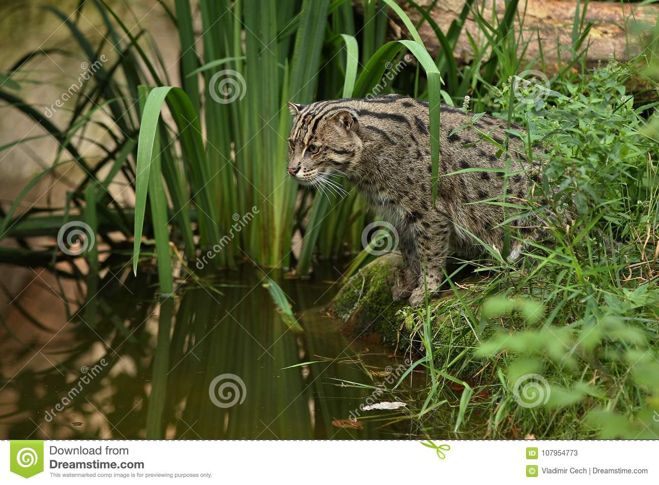 Beautiful and elusive fishing cat in the nature habitat near water.