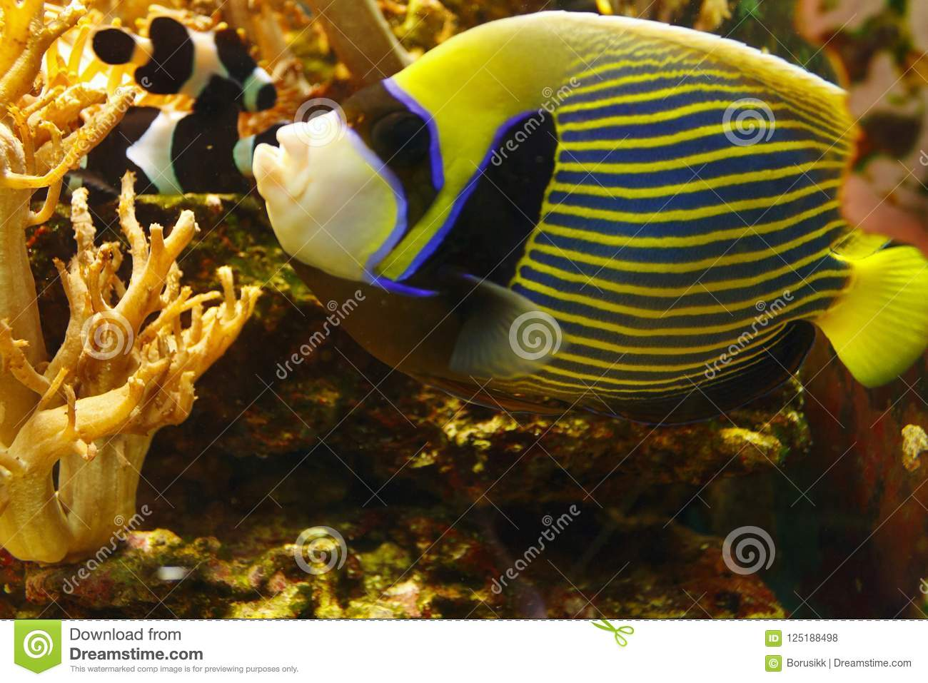Beautiful Emperor angelfish Pomacanthus imperator among coral reef