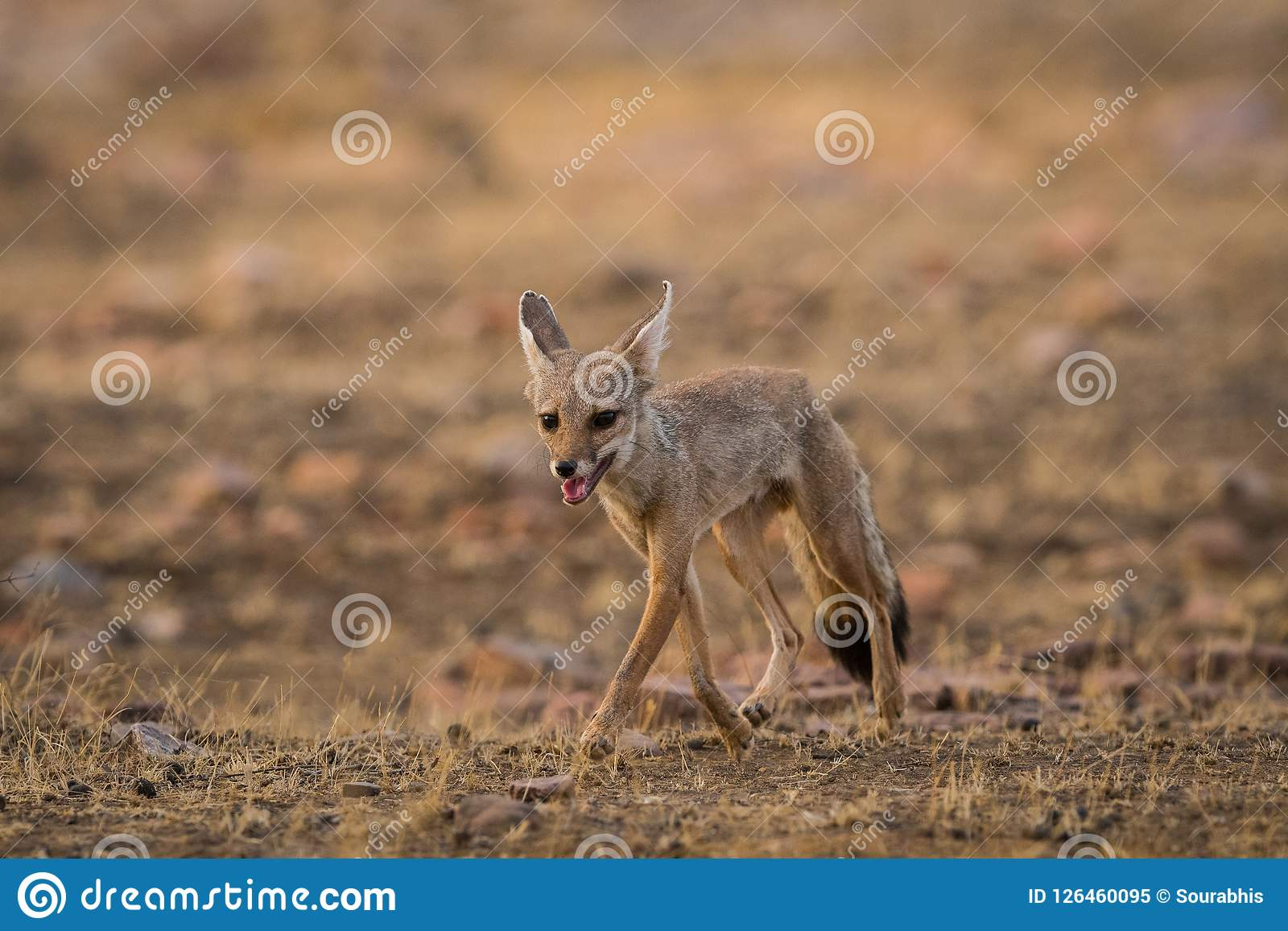 A fox pup Vulpes bengalensis at Ranthambore National Park