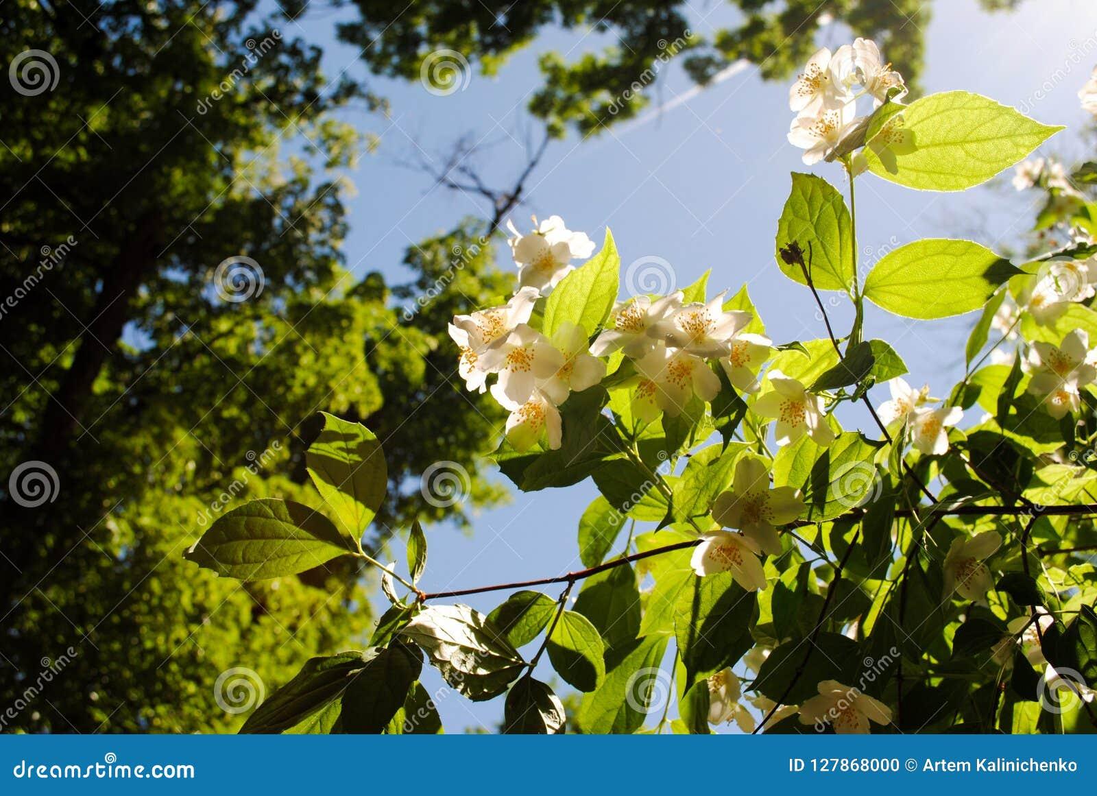 Beautiful evergreen white jasmine flower
