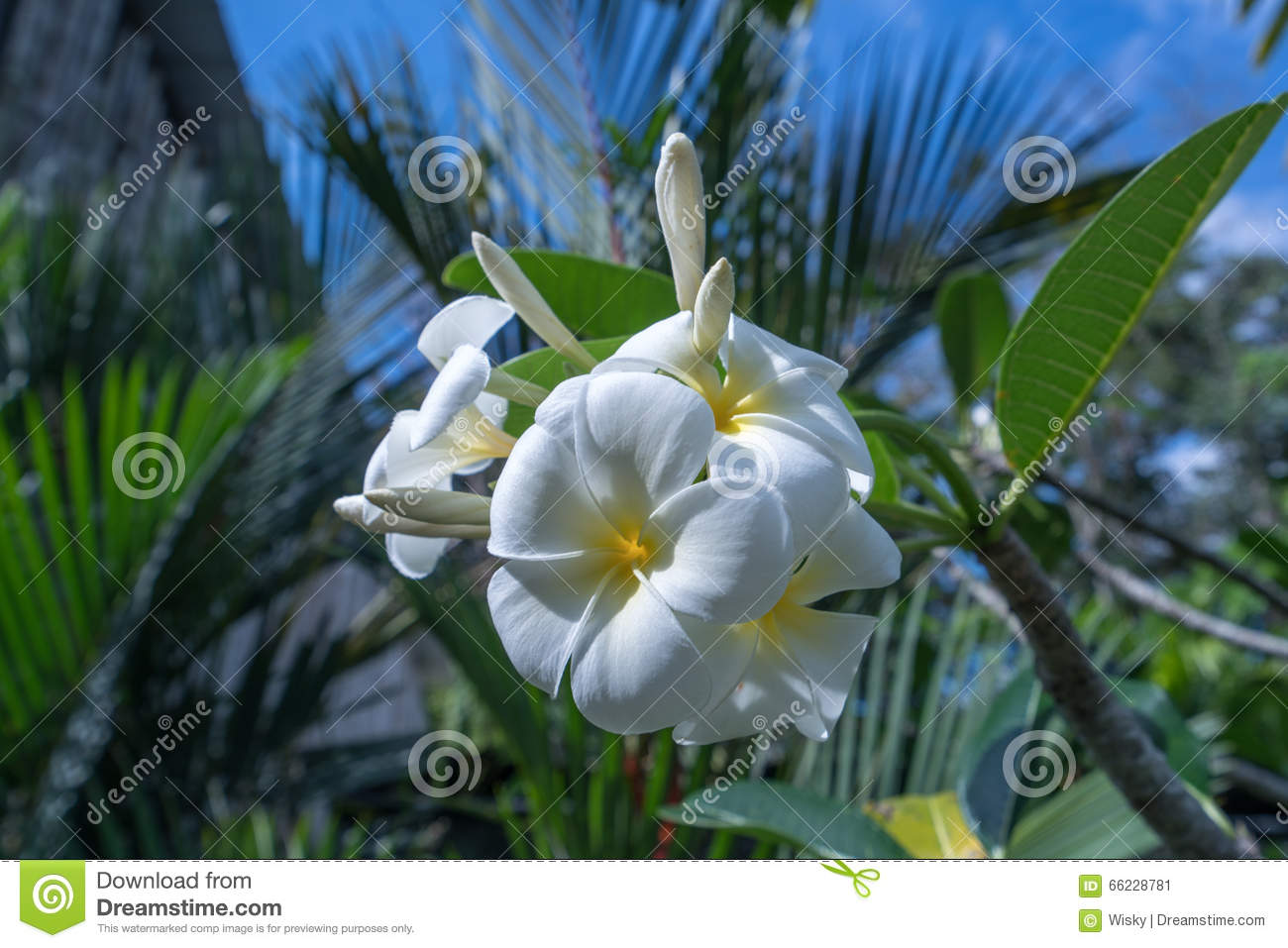 beautiful exotic flower called plumeria. thailand stock photo, Beautiful flower