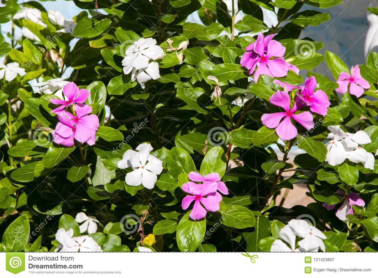 Beautiful exotic lilac and white flowers on a bush with green le beautiful exotic lilac and white flowers on a bush with green le mightylinksfo