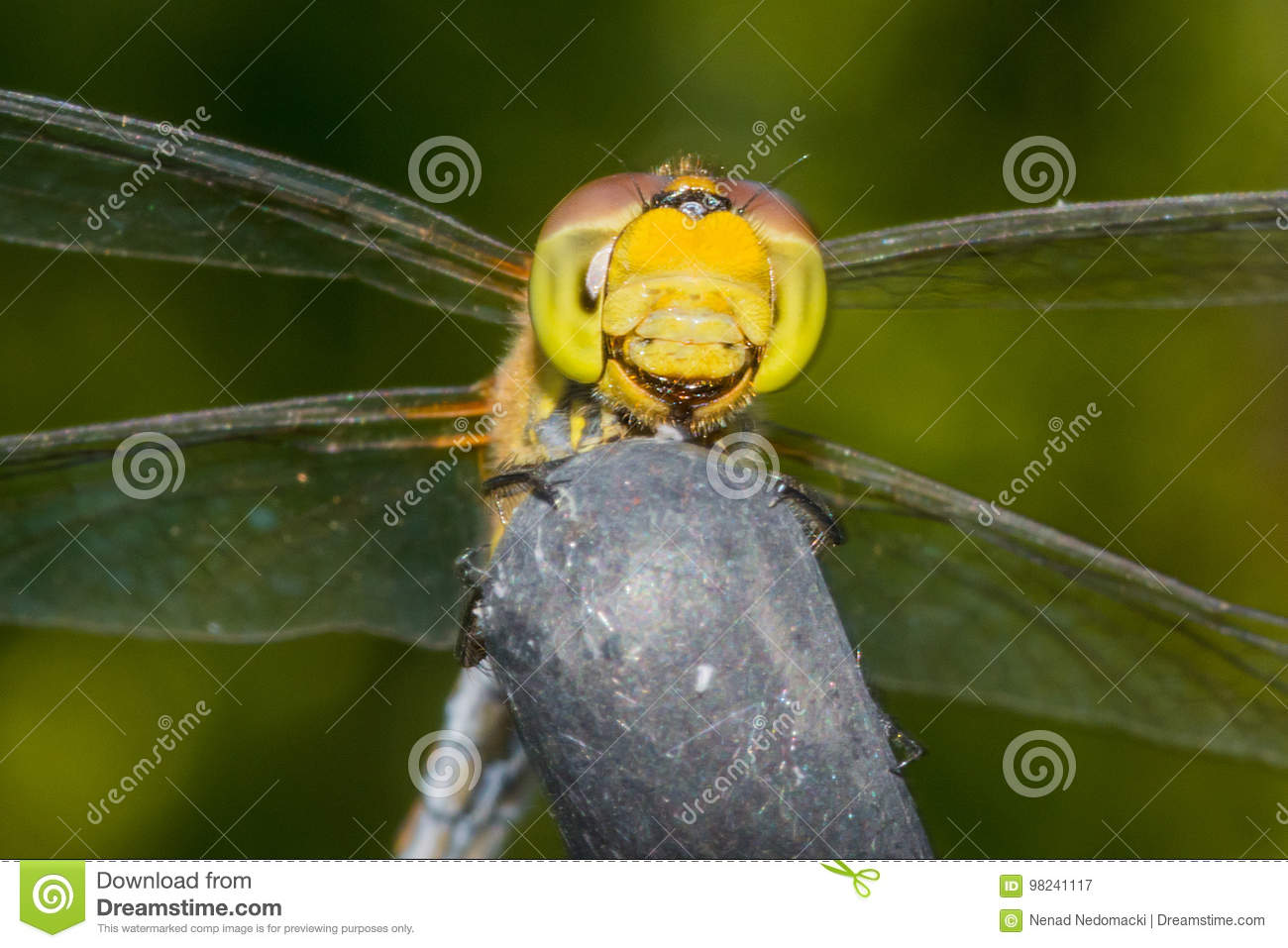 Beautiful extreme macro colorful dragonfly insect resting on stick in summer