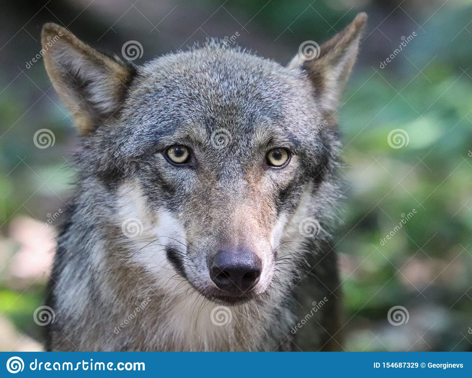 The Beautiful Eyes Of A Grey Wolf Stock Image - Image of ...