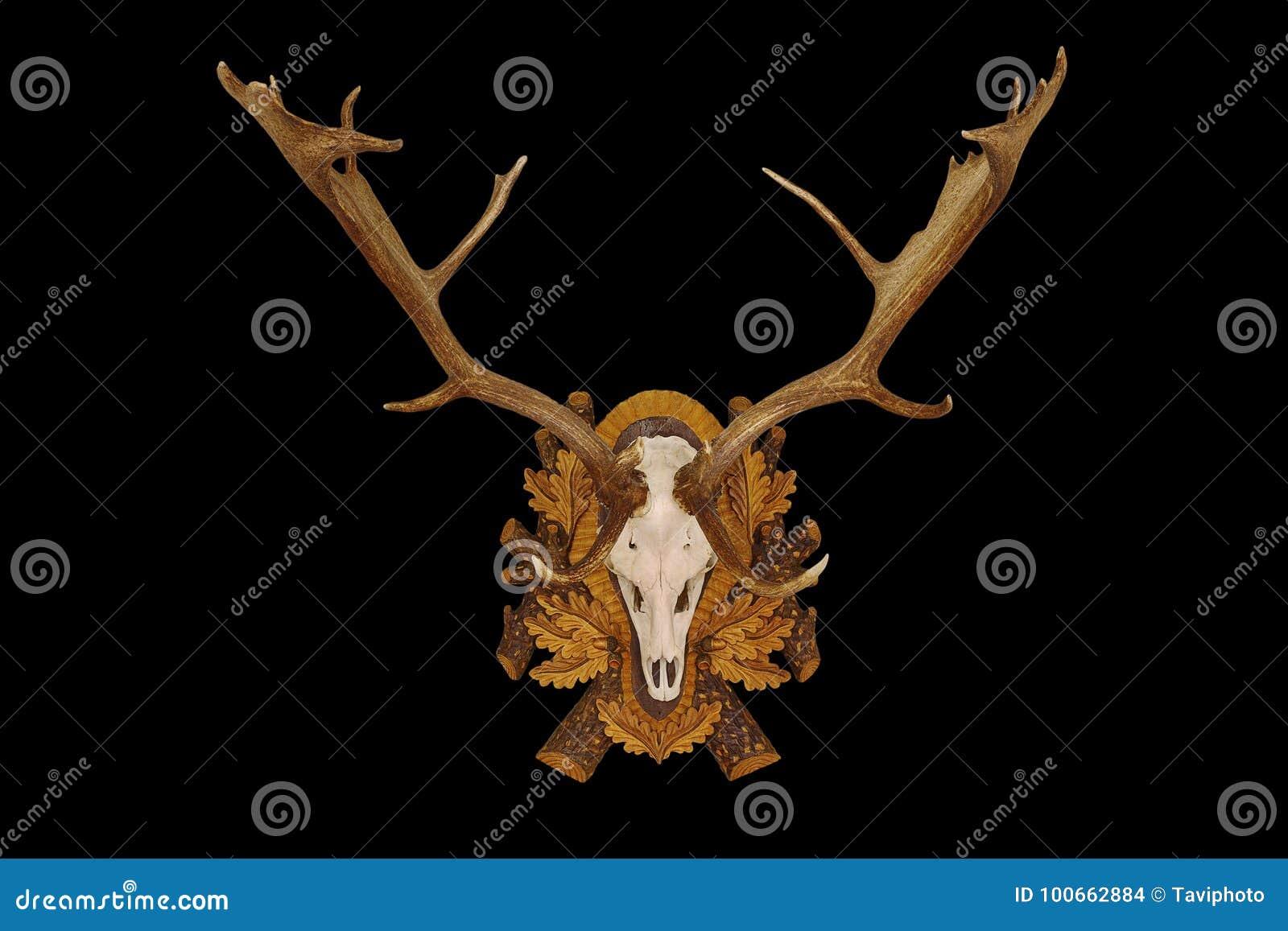 Beautiful fallow deer trophy over black background