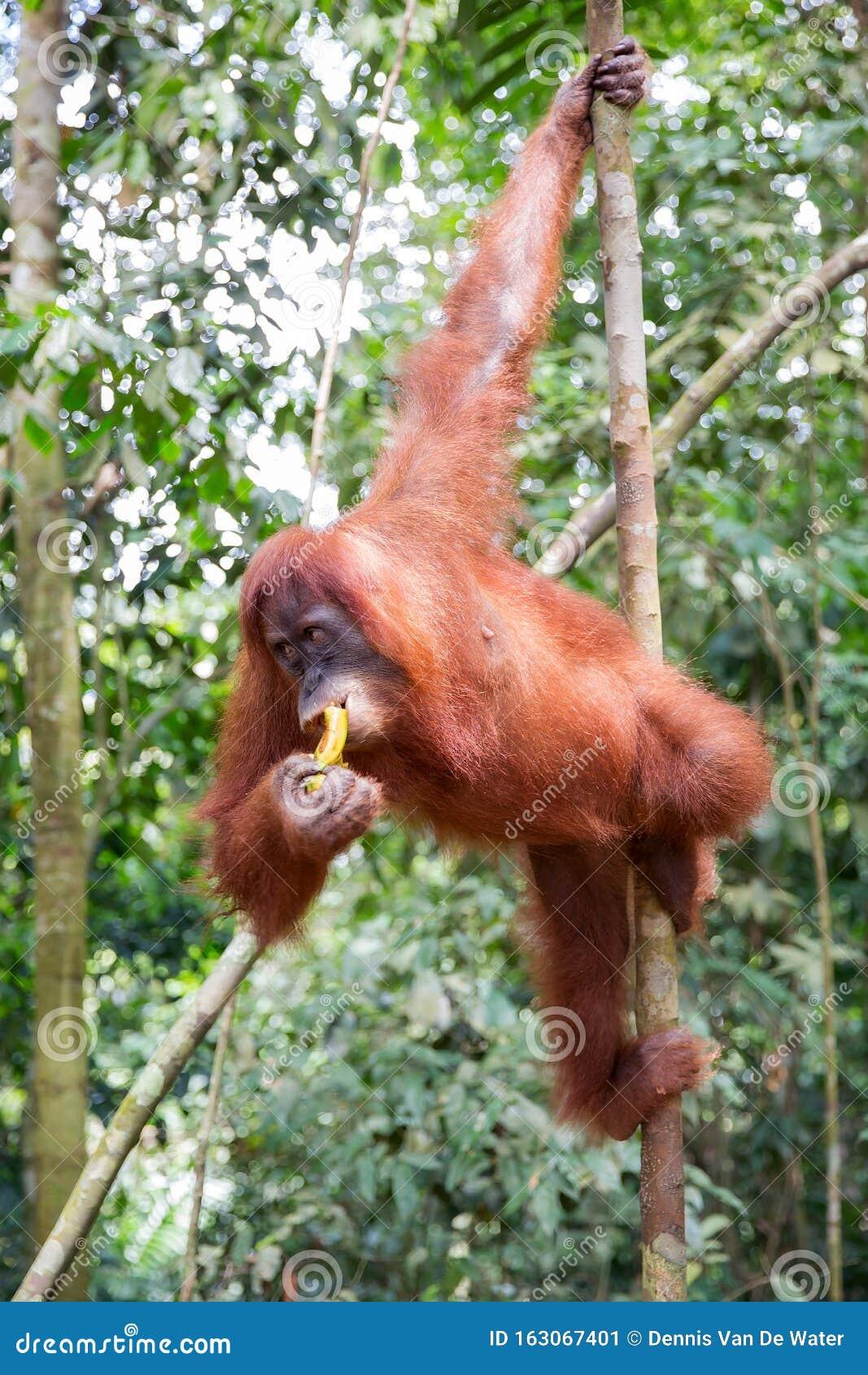A Female Of The Orangutan With A Cub In A Native Habitat