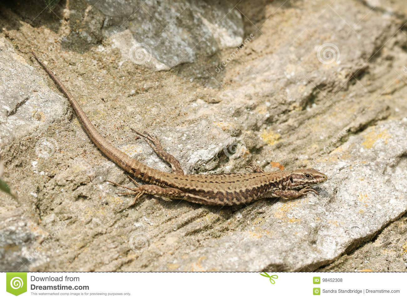 Download A Beautiful Female Wall Lizard Podarcis Muralis Sunning Itself On A Stone Wall. Stock Photo - Image of outdoor, free: 98452308