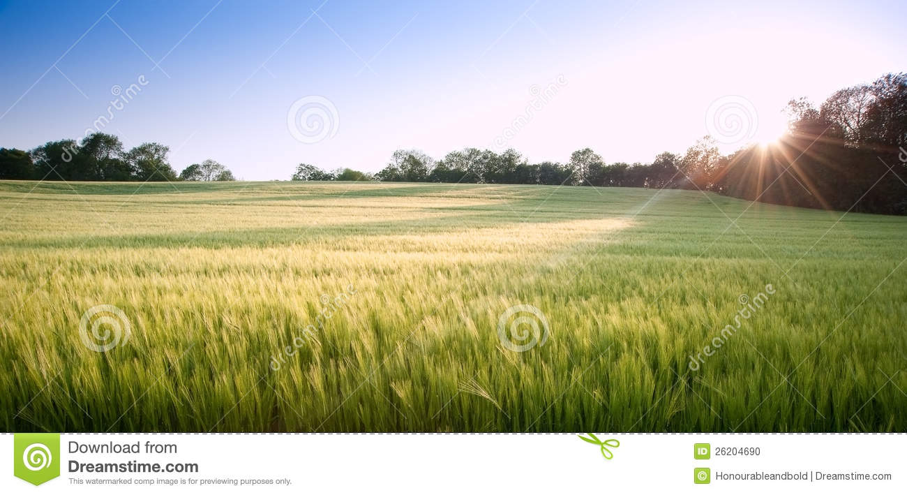 wheat field fresh and - photo #23