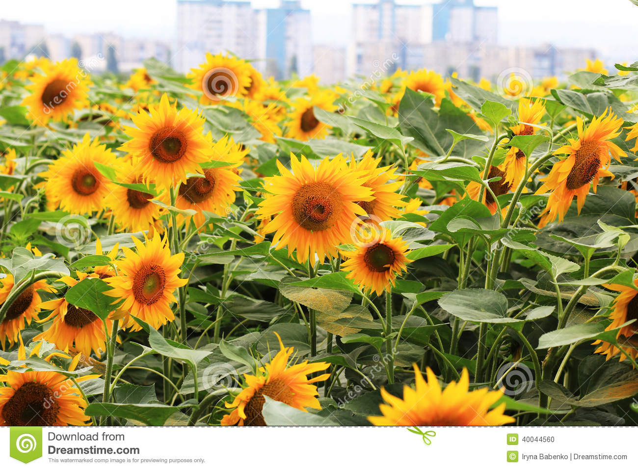 Beautiful Field Of Sunflowers On A City Backdrop Stock
